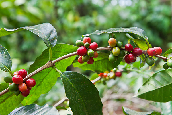 sustainable coffee programs